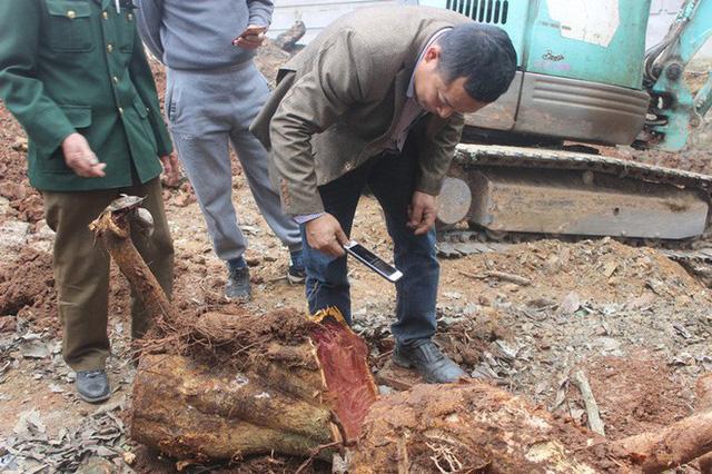 Chặt cây sưa trăm tỷ ở Hà Nội: Chẻ đôi khúc rễ, dân làng mất ngay chục tấn thóc - Ảnh 4.