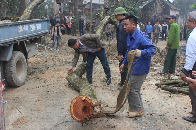 Đang chặt cây sưa trăm tỷ từng gây lùm xùm suốt 8 năm ở Hà Nội - Ảnh 6.