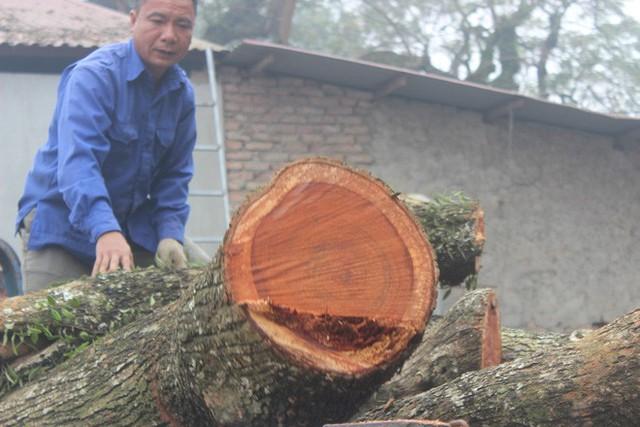 Đang chặt cây sưa trăm tỷ từng gây lùm xùm suốt 8 năm ở Hà Nội - Ảnh 9.