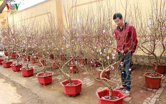 Nhộn nhịp bán mua đào rừng đón Tết ở Sơn La - Ảnh 16.
