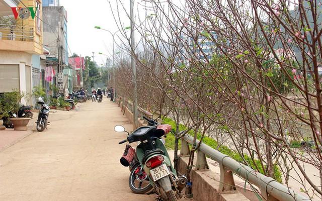 Nhộn nhịp bán mua đào rừng đón Tết ở Sơn La - Ảnh 3.