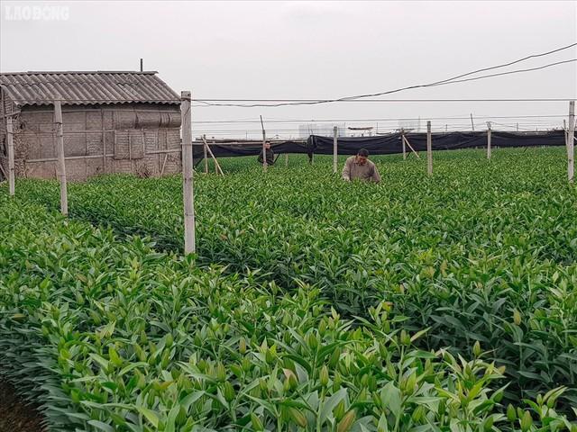 Xuất hiện làng hoa Tây Tựu thứ hai gần Hà Nội - Ảnh 10.