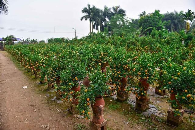 Độc đáo quất bonsai trồng trong bình gốm chơi Tết ở Hà Nội - Ảnh 1.