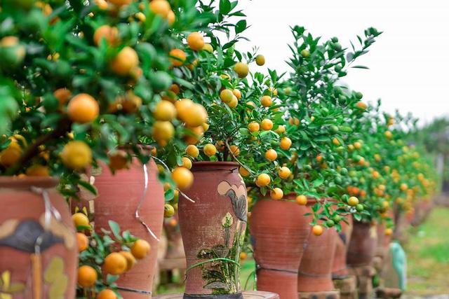 Độc đáo quất bonsai trồng trong bình gốm chơi Tết ở Hà Nội - Ảnh 2.