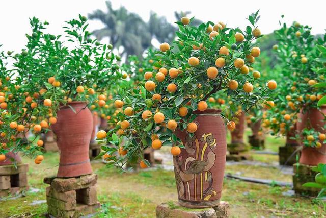 Độc đáo quất bonsai trồng trong bình gốm chơi Tết ở Hà Nội - Ảnh 3.