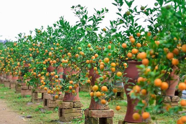 Độc đáo quất bonsai trồng trong bình gốm chơi Tết ở Hà Nội - Ảnh 4.