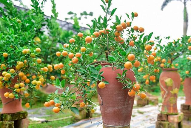 Độc đáo quất bonsai trồng trong bình gốm chơi Tết ở Hà Nội - Ảnh 6.