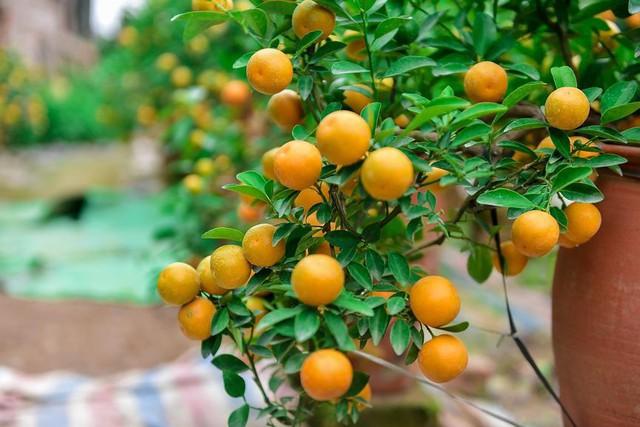 Độc đáo quất bonsai trồng trong bình gốm chơi Tết ở Hà Nội - Ảnh 7.