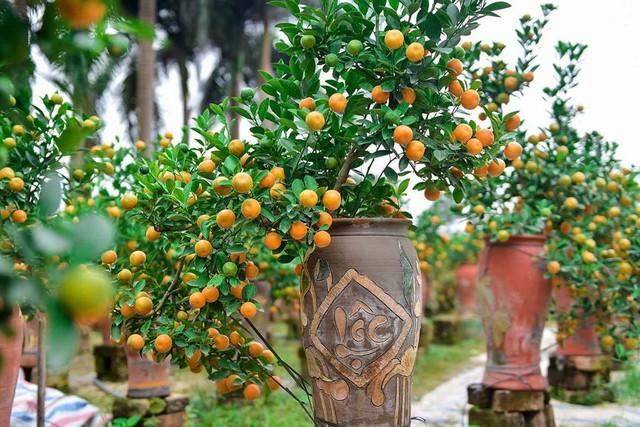 Độc đáo quất bonsai trồng trong bình gốm chơi Tết ở Hà Nội - Ảnh 8.