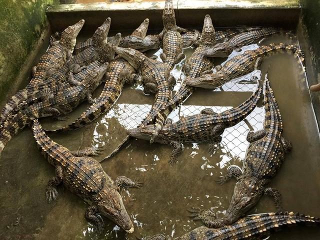 Gần 7.000 con cá sấu sống tại TPHCM bay ra nước ngoài - Ảnh 1.