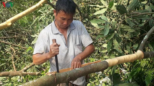 Hình ảnh: Người dân Yên Bái thu nhập hàng trăm tỷ đồng từ Quế - Ảnh 9.