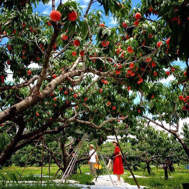Bên trong vườn đào tiên Nhật Bản giá gần một triệu đồng/cặp - Ảnh 11.