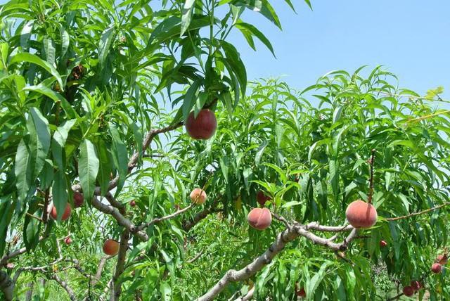 Bên trong vườn đào tiên Nhật Bản giá gần một triệu đồng/cặp - Ảnh 3.