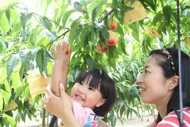 Bên trong vườn đào tiên Nhật Bản giá gần một triệu đồng/cặp - Ảnh 5.