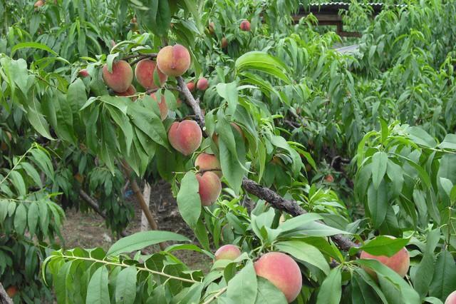 Bên trong vườn đào tiên Nhật Bản giá gần một triệu đồng/cặp - Ảnh 7.