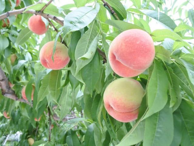 Bên trong vườn đào tiên Nhật Bản giá gần một triệu đồng/cặp - Ảnh 8.