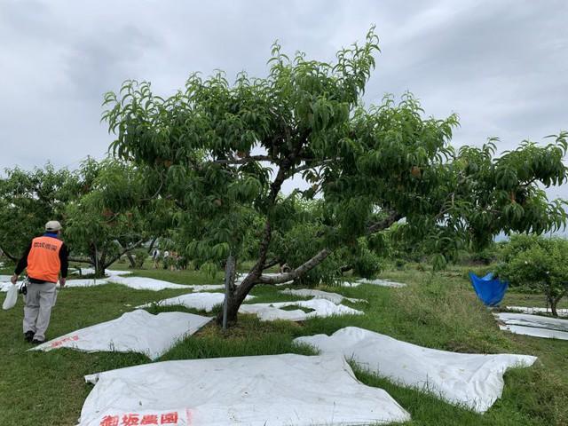 Bên trong vườn đào tiên Nhật Bản giá gần một triệu đồng/cặp - Ảnh 9.