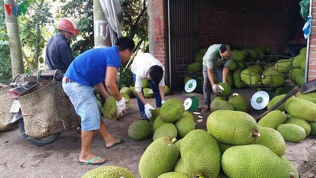 Giá mít tăng cao, nông dân Tiền Giang trồng ồ ạt, bất chấp khuyến cáo - Ảnh 1.