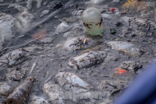 Xuất hiện nhiều cá chết ngoài khu thí điểm thả cá Koi ở Hồ Tây, sông Tô Lịch - Ảnh 3.