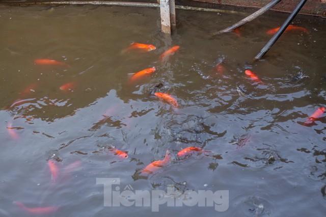 Xuất hiện nhiều cá chết ngoài khu thí điểm thả cá Koi ở Hồ Tây, sông Tô Lịch - Ảnh 6.