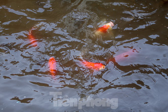 Xuất hiện nhiều cá chết ngoài khu thí điểm thả cá Koi ở Hồ Tây, sông Tô Lịch - Ảnh 7.