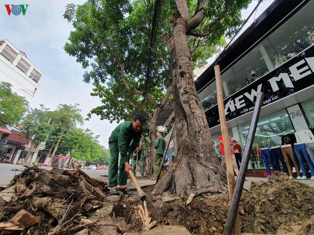 Ảnh: Dân tiếc nuối nhìn hàng cây cổ thụ hàng chục năm tuổi bị di dời - Ảnh 7.