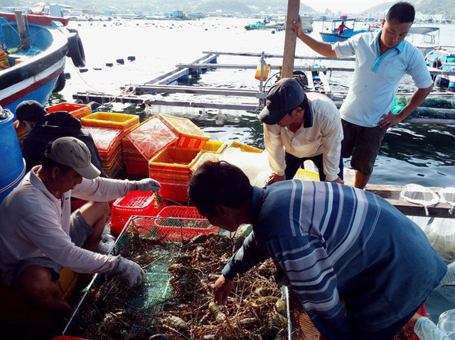 Giá tôm hùm thương phẩm tăng 100.000-300.000 đ/kg - Ảnh 1.