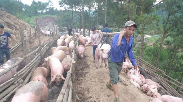 Cấmxuất lợn sang Trung Quốc, giải thích từ Bộ NN&PTNT - Ảnh 1.