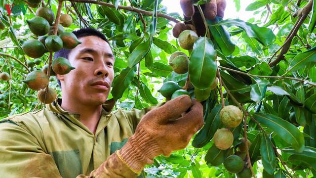 Vẫn cần phải nghiên cứu tối ưu cho phát triển cây macca - Ảnh 1.