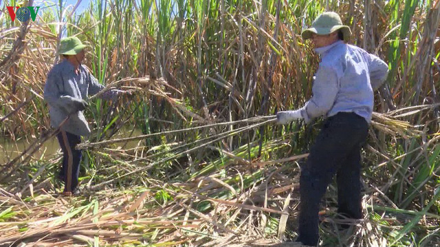 Giá nhân công thu hoạch mía đầu vụ tăng cao ở Hậu Giang - Ảnh 1.