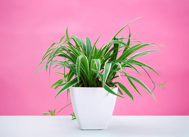 Gợi ý 8 loại cây cảnh thanh lọc không khí tốt, thích hợp để làm giảm ô nhiễm trong nhà - Ảnh 1.
