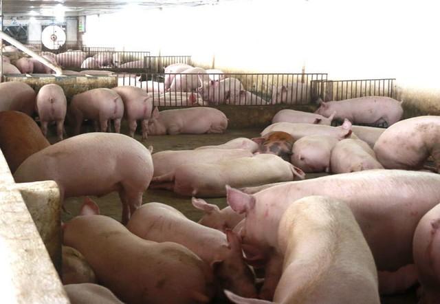 Liên tục tăng cao, giá thịt lợn vọt lên mức kỷ lục - Ảnh 1.