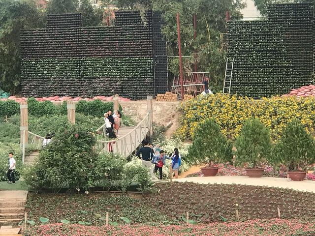 Cúc họa mi vào mùa, nhà vườn kiếm hàng chục triệu mỗi ngày - Ảnh 8.