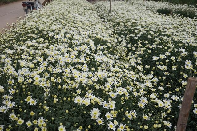 Cúc họa mi vào mùa, nhà vườn kiếm hàng chục triệu mỗi ngày - Ảnh 5.