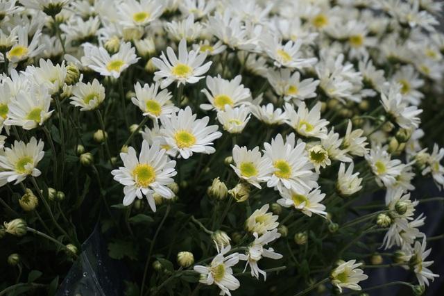 Cúc họa mi vào mùa, nhà vườn kiếm hàng chục triệu mỗi ngày - Ảnh 1.
