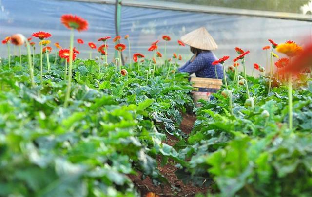 Nông dân Đà Lạt thu hàng trăm triệu từ vườn hoa đồng tiền - Ảnh 1.