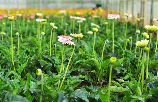 Nông dân Đà Lạt thu hàng trăm triệu từ vườn hoa đồng tiền - Ảnh 2.