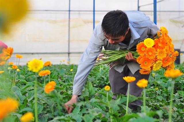 Nông dân Đà Lạt thu hàng trăm triệu từ vườn hoa đồng tiền - Ảnh 6.