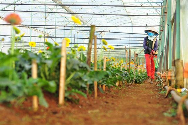 Nông dân Đà Lạt thu hàng trăm triệu từ vườn hoa đồng tiền - Ảnh 7.