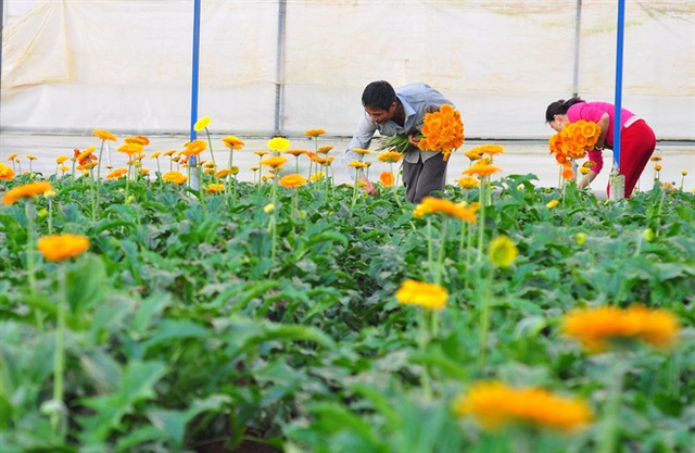 Nông dân Đà Lạt thu hàng trăm triệu từ vườn hoa đồng tiền - Ảnh 10.