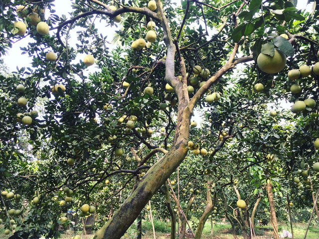 Đại gia Hà Thành chơi trội, bao trọn vườn bưởi cổ 2.000 quả ăn Tết - Ảnh 1.
