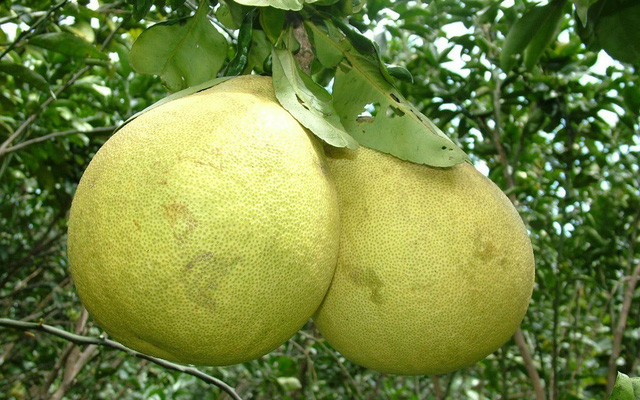 Đại gia Hà Thành chơi trội, bao trọn vườn bưởi cổ 2.000 quả ăn Tết - Ảnh 3.