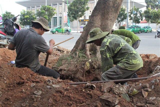 Vì sao hàng loạt cây xanh trên đường phố Đông Hà bị đốn hạ?  - Ảnh 3.