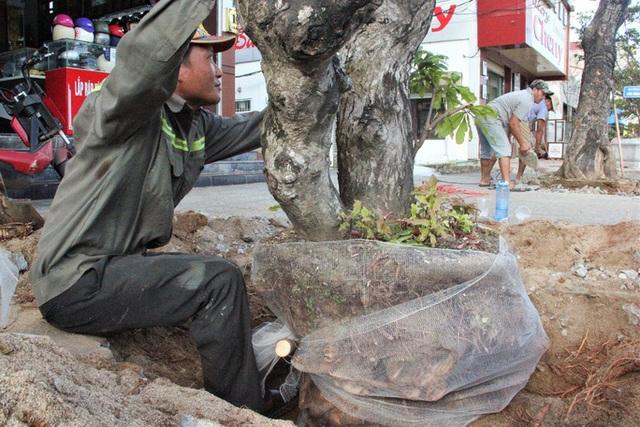 Vì sao hàng loạt cây xanh trên đường phố Đông Hà bị đốn hạ?  - Ảnh 4.