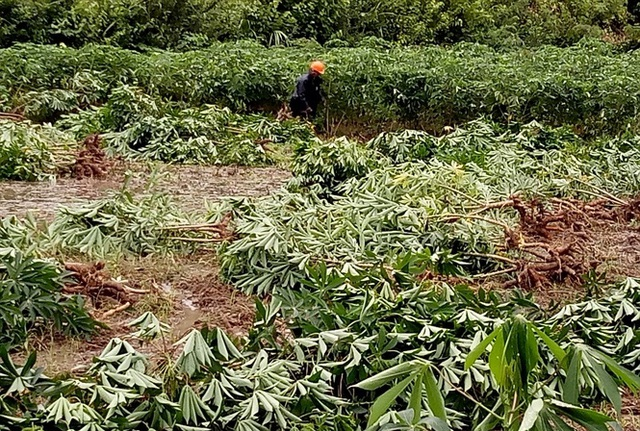 Nông dân gặp khó thu hoạch sắn ngã đổ sau mưa bão - Ảnh 1.