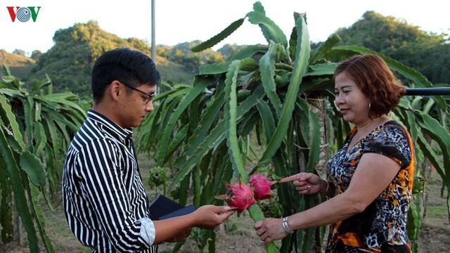 Thanh long ruột đỏ giúp nhiều người dân Sơn La thoát nghèo - Ảnh 1.
