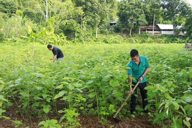 Triển vọng kinh tế từ cây gai xanh ở Sơn La - Ảnh 1.