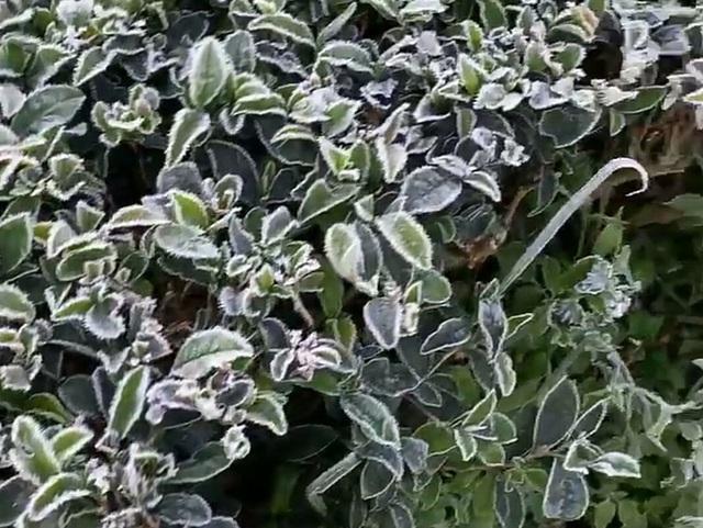 Sương muối trắng vườn, hơn 1.000 ha cây trồng ở Sơn La bị thiệt hại - Ảnh 1.