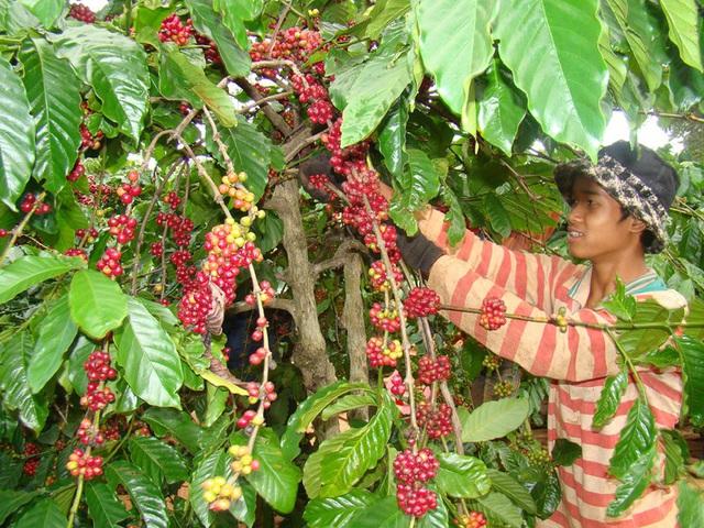 Cà phê Việt Nam chịu ảnh hưởng nặng nề vì khủng hoảng giá - Ảnh 2.