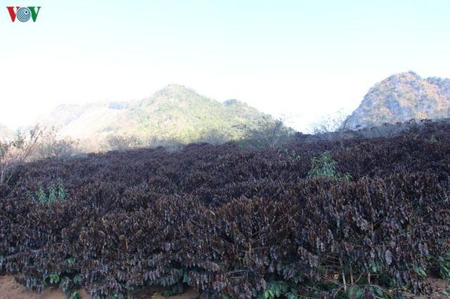 Xót xa cây cà phê chết vì sương muối, nhiều nông dân Sơn La trắng tay - Ảnh 1.